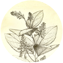 griffonia-simplicifolia_ingredienti